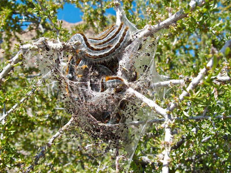 Tent caterpillars spinning their silk.