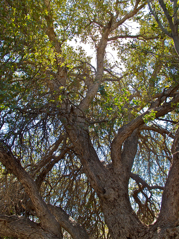 Under the canopy of a Canyon Oak in the wash.
