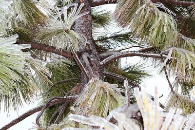 6-pine