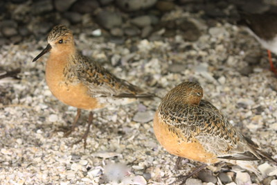 Red Knot (extremely dependant on DE horseshoe crab)