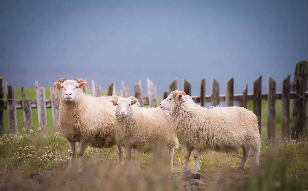 Random Sheep roaming the countryside