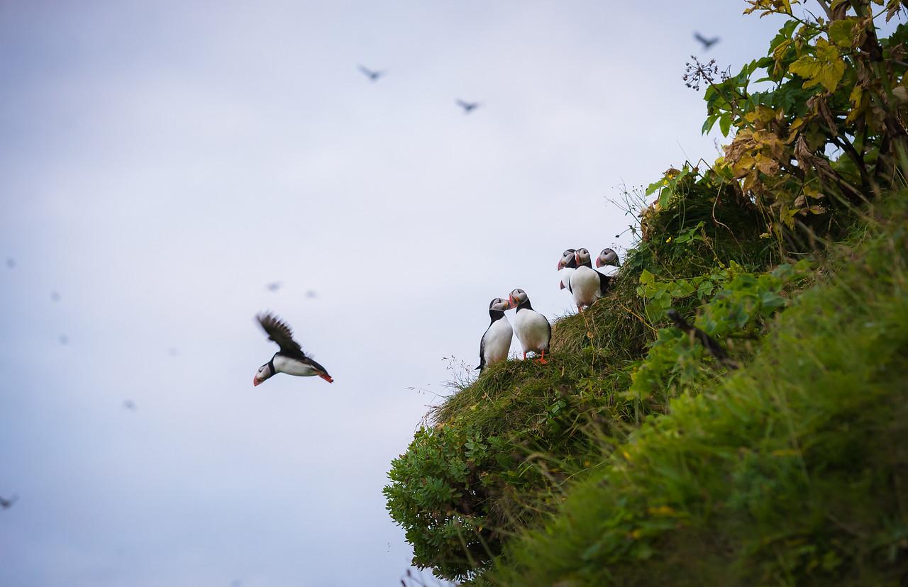 Puffin in Flight near Vik