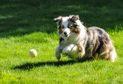 September 2010 - Sassy was amazingly fast and sure chasing tennis balls