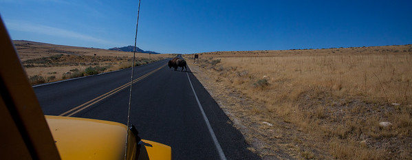 Antelope Island to go riding.  Out path was blocked by a bison.