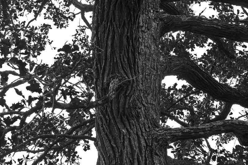 Craggy Oak