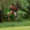 Harris Hawk Iowa Raptor Center