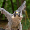 Peregrine Falcon, Iowa Raptor Center
