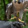Peregrine Falcon, Iowa Raptor Center