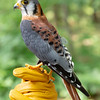 American Kestrel, Iowa Raptor Center