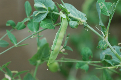 Snow pea on the vine-2
