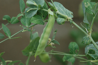 Snow pea on the vine