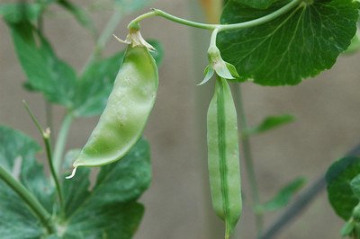 Snow peas on the vine-1