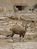 Ibex at Machtesh Ramon