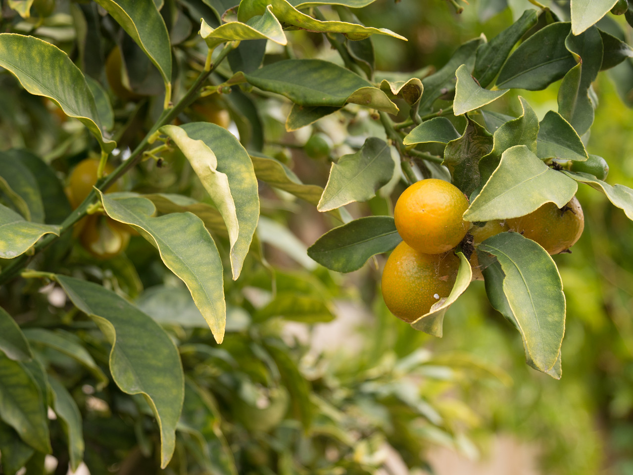 grows kumquats!