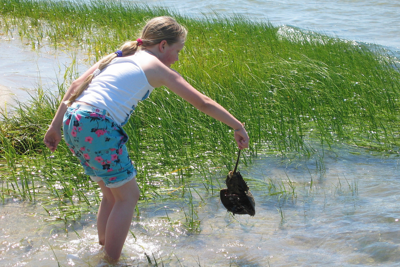 Horseshoe crab,  Monomoy, Cape Cod
