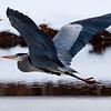 Blue Heron, Spice Bush