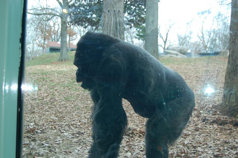 Gorillas are really beautiful animals