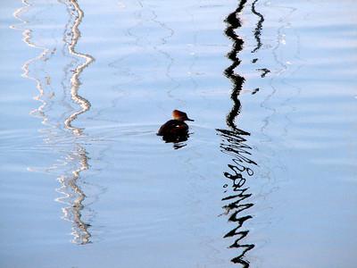 Mohawk duck