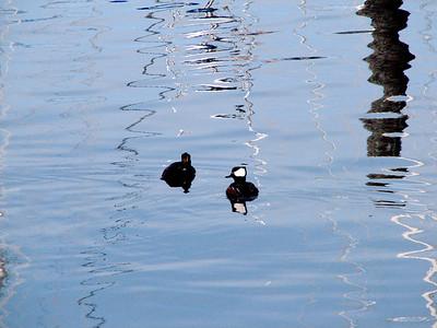 Mohawk ducks