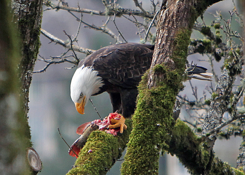 One of our local bald eagles has a meal in our backyard tree.