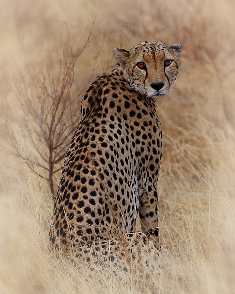 A hungry cheetah stares back at us.
