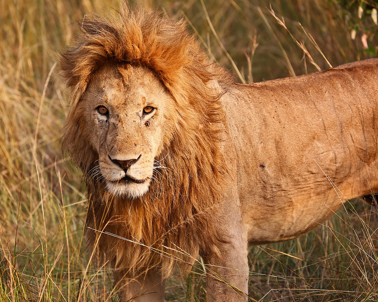 King of Masai Mara.