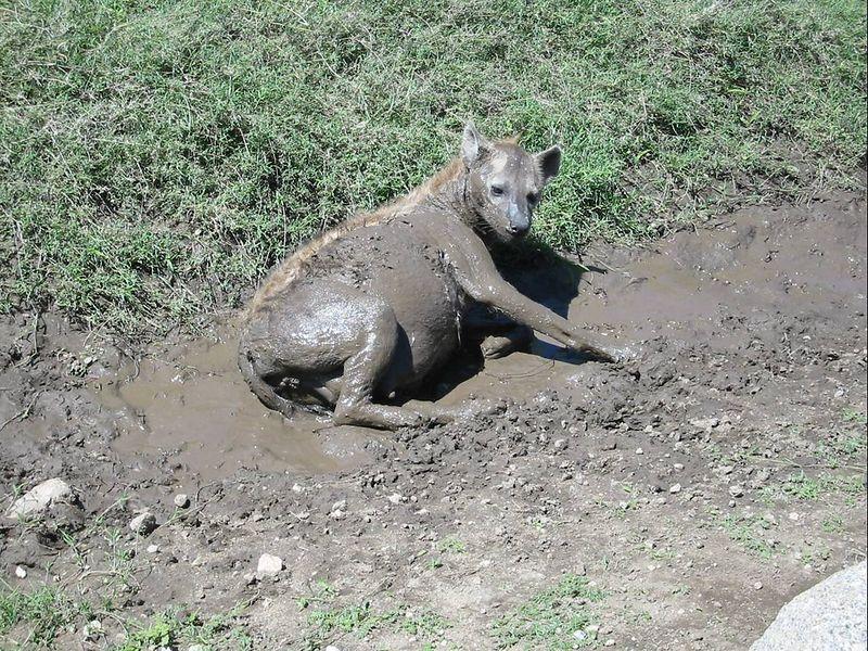 18_pregnant hyena