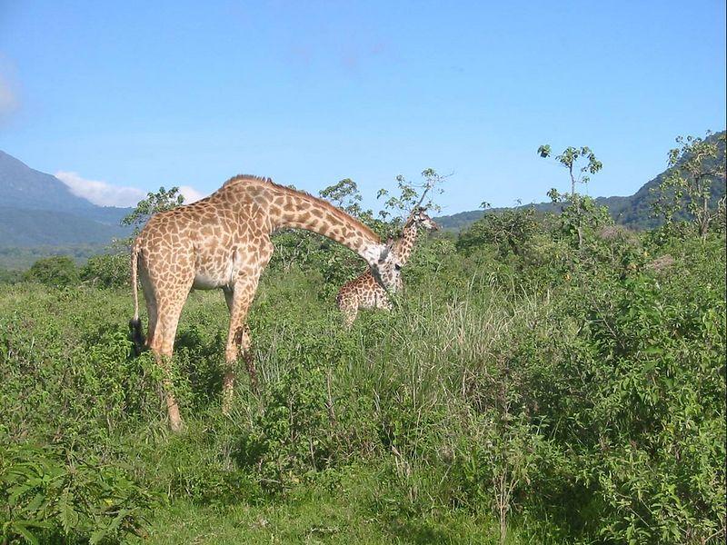 05_Giraffe