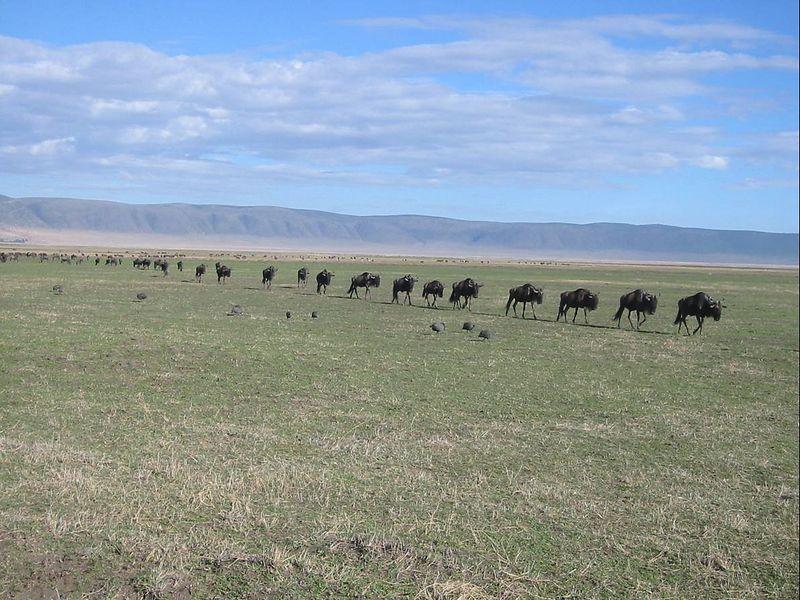 09_NgCrater Wildebeest