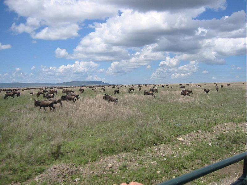 19_Wildebeest Herd