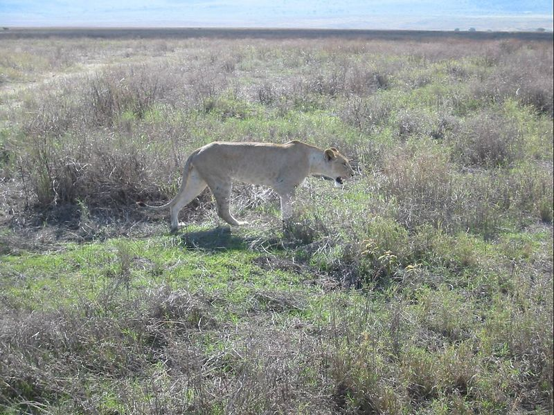 11_NgCrater Hunting Lioness 2