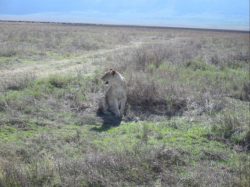 10_NgCrater Hunting Lioness
