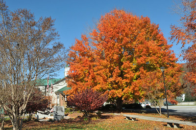 Sugar Maple tree in front of Rabun County Courthouse, Clayton, GA