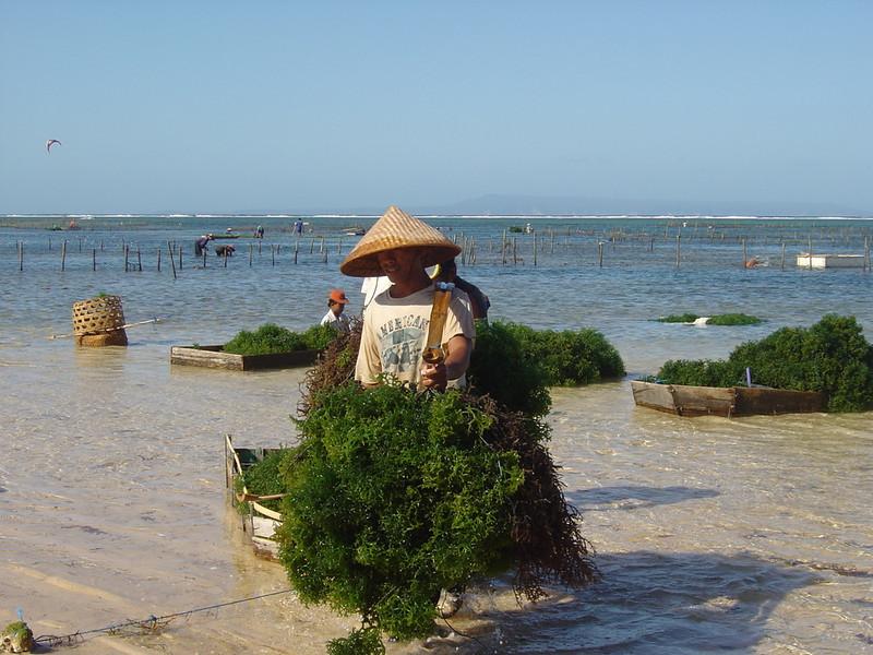 seaweed farm Nusa Dua beach