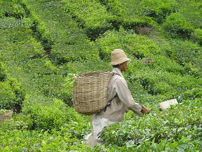 traditional tea picker...they snip the leaves with shears with a sort of scoop attached and then fling the clippings over the shoulders into the basket on their backs