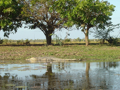a 4+m saltie (saltwater croc) on the Coroboree River, part of the Mary River Wetlands