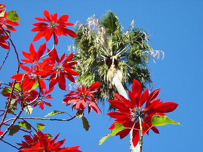 poinsettias and palm trees, Sydney