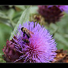 Busy Bee's..  Taken at Oliver Winery