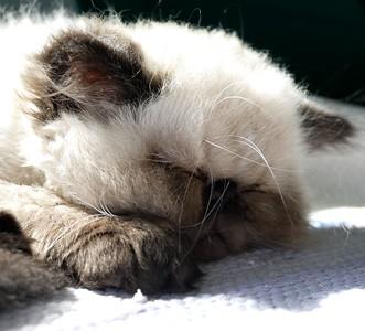 P152KahluaBear11wkTomorrow176 Oct. 28, 2015  12:45 p.m.  P1520176 What could be cuter than Kahlua Bear sleeping in the sun at 11 wk old tomorrow?
