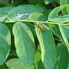 Pennsylvania Leatherwing Bug