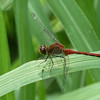 Ruby Meadowhawk dragonfly #2