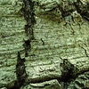 Tree Cracks (Fence Induced?)