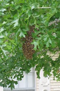 Bee Hive in Joe and Berta Gipson's Tree
