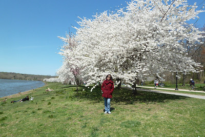 The Japanese government donated 1600 flowering trees including these cherry trees to Philadelphia