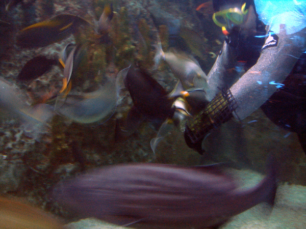 Inside Aquarium.  The view from our table. Diver feeding the fish. He attached the Nori/seaweed to his arm...the tangs were going crazy!