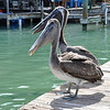 The Pelicans wanted the fish, but no feeding the Pelicans.