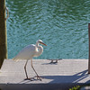 A morning visit from Edgar the Egret. He has faith that we will catch some canal fish.