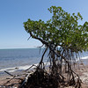 Mangrove tree on the beach of Refuge Bay. <br /> There is still a pirate story we have to look in to.