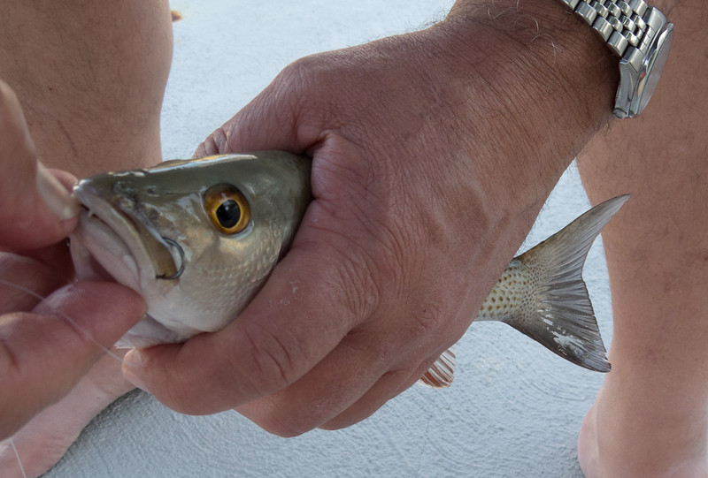 Fish from the canal in Key Colony Beach.
