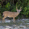 the Endangered  Key Deer